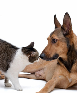 german shepherd kisses a cat
